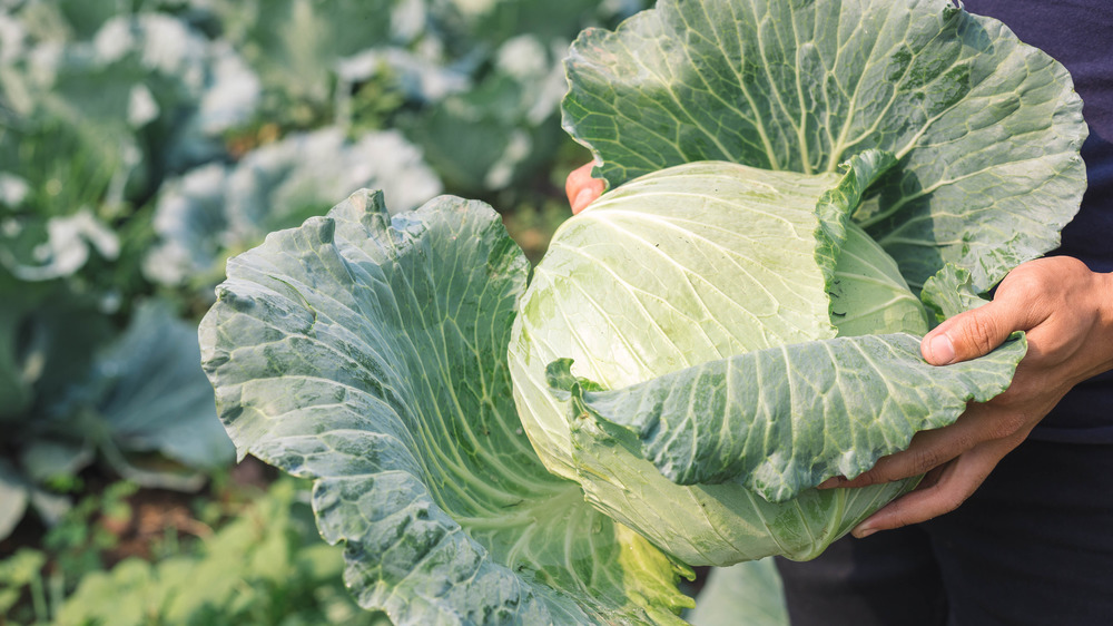Farmer holding head of cabbage in a field